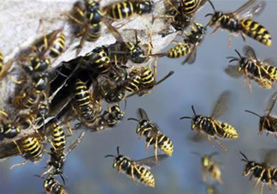 Wasp Control Davyhulme 24/7, same day service, fixed price no extra!