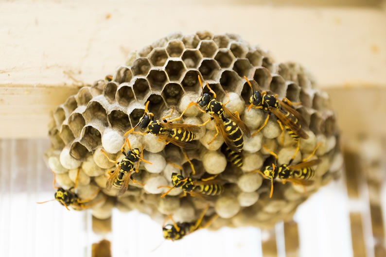 Wasp Control Pendlebury - Wasp nest treatment 24/7, same day service, covering Pendlebury, Stockport and cheshire, fixed price no hidden extras!
